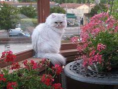 Mythicbells Persian Cats & Kittens..Elliot