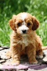 cavoodle puppy !!!! This is the kind of dog I hope to be getting mid way thru 2013!!!!!