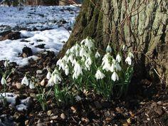 Snowdrops Fairhaven Garden Norfolk Broads