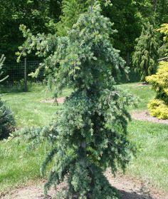 Cedrus libani ' Blue Angel ' Cedar of Lebanon