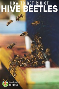 How to Get Rid of Small honey bee Hive Beetles for Good in 5 Fail-Proof Steps Getting Rid Of Bees, Honey Bee Hives, Honey Bees, Bee Hive Plans, Beekeeping For Beginners, Buzz Bee, Raising Bees, I Love Bees, Bee Boxes