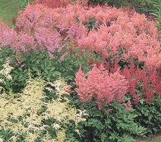 Cornerstone Astilbe Collection Common Name: Astilbe Hardiness Zone: 4-8 S / 4-10 W Height: 2-3' Exposure: Part Shade Blooms In: June-July
