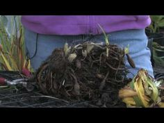 Plant Care & Gardening : How to Prepare Daylilies for Winter