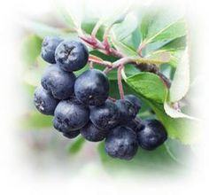 Aronia Berry, native, aka Chokeberry. Tart, should be sweetened. Taste is a cross between blackberry and blueberry.