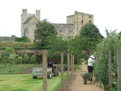 Helmsley Castle completed 1563-1587, overlooks the Walled Garden, while a volunteer prunes the apple trees.  Yorkshire, UK