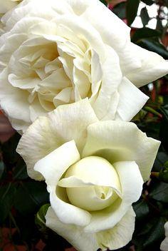 Rosa 'White New Dawn'