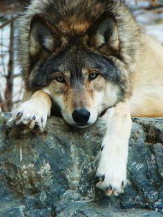 love.....Wolf