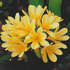 Seedling Clivia Yellow