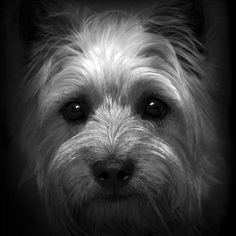 Cairn terrier in black and white - what a beautiful face.---This reminds me of my dog Ceazer from when I was little!!!!  :)