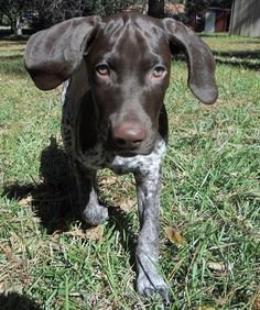 Scout the German Shorthaired Pointer - love the name scout for a GSP