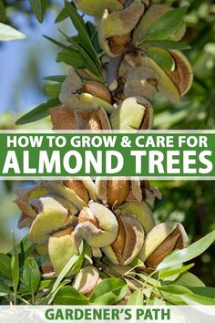 Nutty about almonds? Want to branch out and learn how to grow and care for your own? Check out this guide full of tips and tricks to successfully grow your own almond trees in your backyard. Read our complete guide now on Gardener's Path.