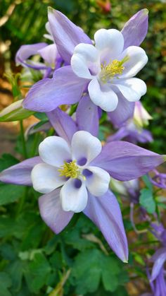 My favorite flower, the Colorado Columbine. Too bad they can't stand the Texas heat.