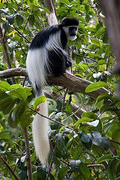 Black and White Colobus monkey, Tsavo East, Kenya