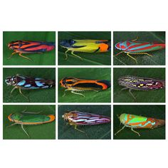 """an app describes these leafhoppers and many thousands of other species in Costa Rica's rainforests. Photos: """"animals of Costa Rica"""" app. Amphibians, Mammals, American Crocodile, Leafhopper, Rainforests, Animal Species, Field Guide, Natural Life, Book Making"""