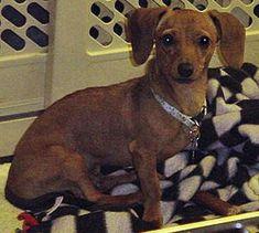 Meet Biggy Smalls, a Petfinder adoptable Dachshund Dog in La Habra, CA | Petfinder.com  Dog • Dachshund • Young • Male • Small Southern California Dachshund Rescue La Habra, CA SOUTHERN CALIFORNIA DACHSHUND RESCUE 562-694-6868 2794 Sorrel La Habra, CA 90631 Dena@scdr.org ABOUT BIGGY SMALLS Name: Biggy Smalls 3903 Age: 1 yr. 8 mo. D.O.B.: 3/19/2015 Color: Red  Coat: Smooth  Sex: Male/Neutered Size: Micro Mini – 6.5 lbs. - 02/26/2017