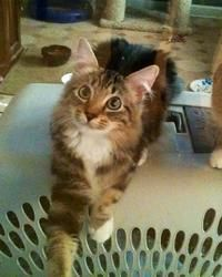 Maddox is an adoptable Maine Coon Cat in Maumelle, AR. Please contact Maumelle Animal Services for more information about this pet. MFOA striving to decrease the number of homeless animals that are eu...