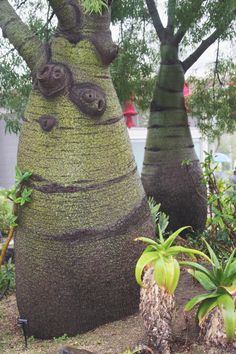 Queensland Bottle Tree.  (Brachychiton)   San Diego Zoo.  12/2010.