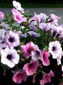 Várias flores de Petúnias Hibridas