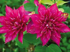 Clematis Fireflame - Fully double, reddish-pink flowers with yellow anthers. Early blooming. Hardiness Zone: 4-9. Sun Requirements: Full sun to partial shade.