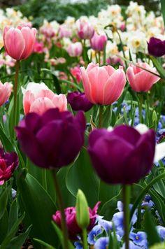 Hyazinthen Tulpen Narzissen  rosa lila weiß Garten