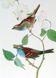 Sparrow and Fox Sparrow