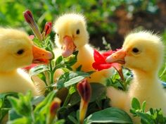 ducklings enjoying Spring!