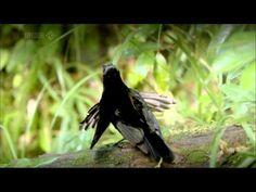 Tim Laman & Ed Scholes: Birds of Paradise   Nat Geo Live - YouTube