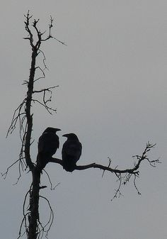 It isn't very often you see a lone raven. Most often there are at least 2 together . Very intelligent birds .