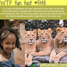 Ethiopian girl is saved by three lions – WTF fun facts. That's a beautiful … Ethiopian girl is saved by three lions – WTF fun facts. That's a beautiful story. I love that story. Please save the wildlife before they become extinct. Lion Facts, Wtf Fun Facts, Crazy Facts, Random Facts, Strange Facts, Funny Facts, Funny Gifs, Videos Funny, Funny Jokes