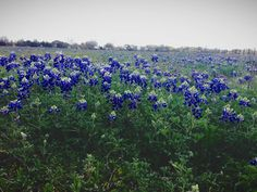 in the spring we have never-ending fields of bluebonnets in RouND top! the state flower of texas. . . photo from keely marie scott