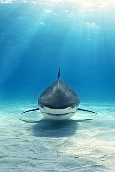 The Tiger Shark, often known as the Sea Tiger, is a solitary, nocturnal hunter. Due to finning and fishing by humans, the species is considered to be nearly threatened.