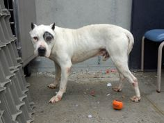 SAFE --- SUPER URGENT 05/16/14  Brooklyn Center    PETEY - A0999939   MALE, WHITE / BLACK, PIT BULL MIX, 15 yrs  OWNER SUR - EVALUATE, NO HOLD Reason MOVE2PRIVA   Intake condition GERIATRIC Intake Date 05/15/2014, From NY 11220, DueOut Date 05/18/2014,  https://www.facebook.com/photo.php?fbid=805242569488624&set=a.617942388218644.1073741870.152876678058553&type=3&theater