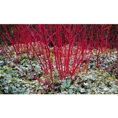 WINTER SALE - Usually each, today just for THREE - Save over Cornus alba sibirica, or red barked dog wood as it is better known, it is a garden stalwart for many people, and essential for providing a shot Landscape Architecture, Landscape Design, Garden Design, Structural Color, Red Perennials, Spring Bulbs, Winter Beauty, Trees And Shrubs, Garden Plants