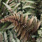 Japanese painted fern (Athyrium niponicum var. pictum) Deciduous.