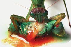 Praying Mantis Eating a Caterpillar