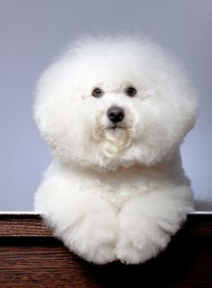 Keeping Up Appearances - 6 Easy Tips For Awesome Bichon Frise Grooming    Here are some tips to guarantee your Bichon Frise looks are always consistent with what's expected of this breed