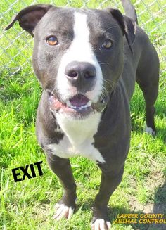 ADOPTED!  Tag# 10003 Name is Exit Pit Bull Terrier Male-not neutered Approx. 2 years old Approx. 55-60 lbs. Affectionate! Loves to play!   Located at 2396 W Genesee Street, Lapeer, Mi. For more information please call 810-667-0236. Adoption hrs M-F 9:30-12:00 & 12:30-4:15, Weds 9:30-12:00 & Sat 9:00-2:00     https://www.facebook.com/267166810020812/photos/a.845338658870288.1073742158.267166810020812/845339308870223/?type=3&theater