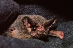 closeup of a Brazilian free-tailed bat