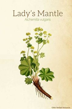 Lady's Mantle (Alchemilla vulgaris)