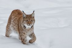 Euraziatische lynx by Willem Verboom on 500px