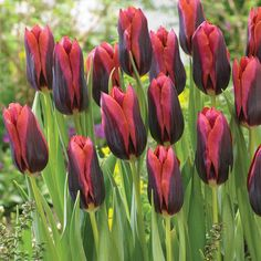 Unique, deep red flowers have black flames and orange to red edges. Great for mid spring borders or landscapes. Force indoors for Valentine's Day or Easter. Planting Tulips, Tulips Garden, Daffodils, Garden Plants, Orange Flowers, Colorful Flowers, Tulip Colors, Bulbs For Sale, Fall Plants