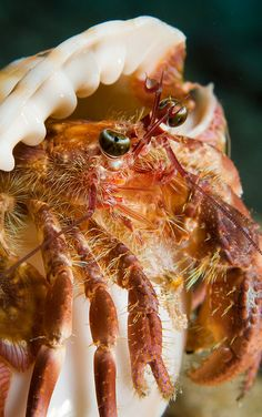 Jeweled Anenome Crab