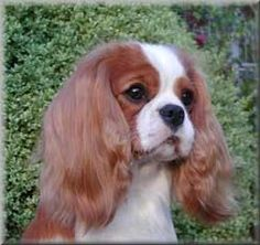 My dream dog.  A Cavalier King Charles Spaniel.  sigh dawnal