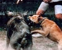 Another proof of human idiocy.  So-called hog-dog rodeos are events at which frenzied dogs, usually pit bulls, are turned loose, one or two at a time, in pens to attack wild pigs as onlookers cheer and judges rate dogs by how quickly they take down their prey. To prevent injury to the dogs, the hogs tusks are often first snapped off with a steel pipe and hammer or with bolt-cutters, rendering these animals completely defenseless. Click and sign the petition please!