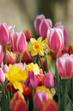 Spring  tulips and daffodils