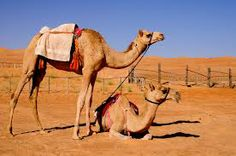 Camels are highly valued in Oman. They were used for transportation long time ago because of their ability to travel for long distances.