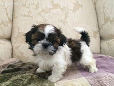 The origin of Shih Tzu is ancient and is covered in a lot of mystery. It has been established that this dog is among the 14 oldest breeds and bones excavat Baby Shih Tzu, Shih Tzu Puppy, Shih Poo, Cute Puppies, Cute Dogs, Chien Shih Tzu, Puppy Stages, Lion Dog, Shih Tzus
