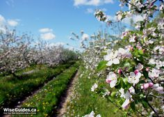 Nova Scotia's Annapolis Valley is the place to be in spring. Read this post and learn why. It's all about Annapolis Valley apple blossoms including photos, facts, festivals, edibility and more. Nova Scotia apples are world famous. Annapolis Valley, Atlantic Canada, Prince Edward Island, New Brunswick, Flowering Trees, Nova Scotia, Places To See, Things To Do, Apple Blossoms