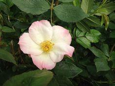 Rosa Reve-De-Mireille | www.filroses.com