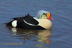 eider | King Eider male in his colorful spring plumage with his reflection ...